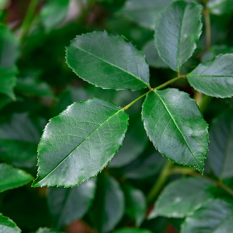 アイスバーグ: 葉