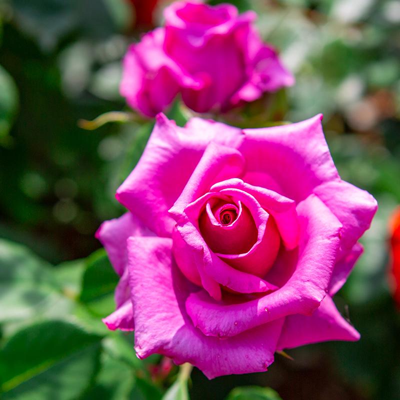 紫雲: 花